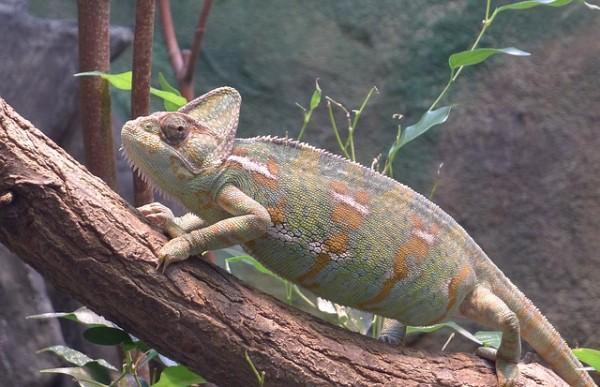 chameleon-1740765_640
